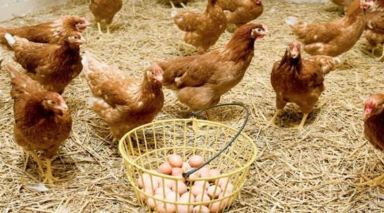 Köy Yumurtası Satmanın Maliyeti ve Kar Oranı 2019 Hayvan Kredisi