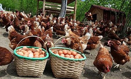 en-çok-yumurtlayan-tavuk-cinsleri