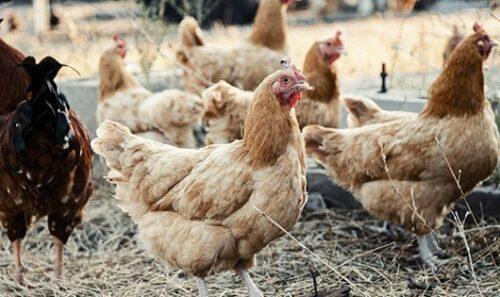 tavuk-çiftliği-kurmak