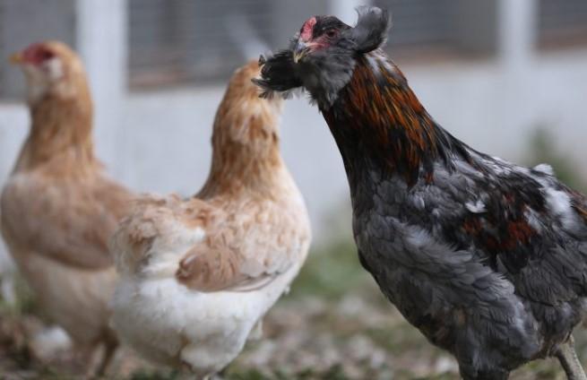 Yeşil Yumurtlayan Tavuk Kaç Para Kazandırır? Hayvan Kredisi