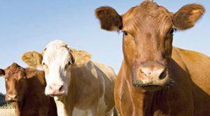 7 SENE VADELİ 100 BİN TL. FAİZSİZ HAYVAN KREDİSİ 2019 Hayvan Kredisi