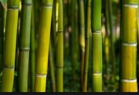 bambu-bitkisi