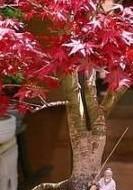 japon-akağaacı