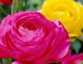 şakayık-çiçeği