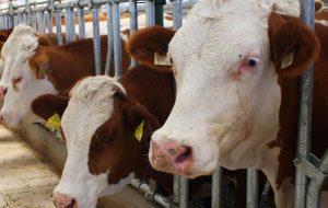 Ziraat Bankası 100 Bin TL. Sıfır Faizli Sığır Yetiştiriciliği Kredisi 2019-2020 Hayvan Kredisi