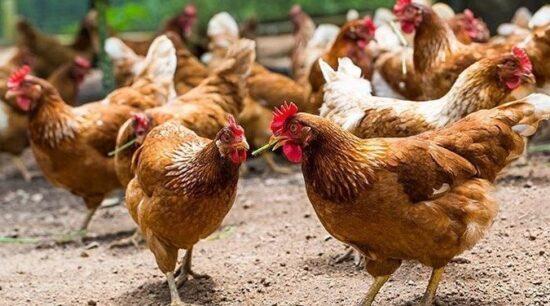 Köy Yumurtası İşinde Para Var mı? Kâr Maliyet Hesaplaması
