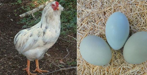 Köy Yumurtası Kâr ve Maliyet Hesaplaması