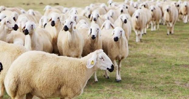 Ziraat Bankası 2019 Küçükbaş Hayvan Kredisi Şartları Hayvan Kredisi