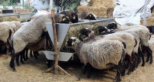 hangi-koyun-ırklarını-tercih-etmeliyiz