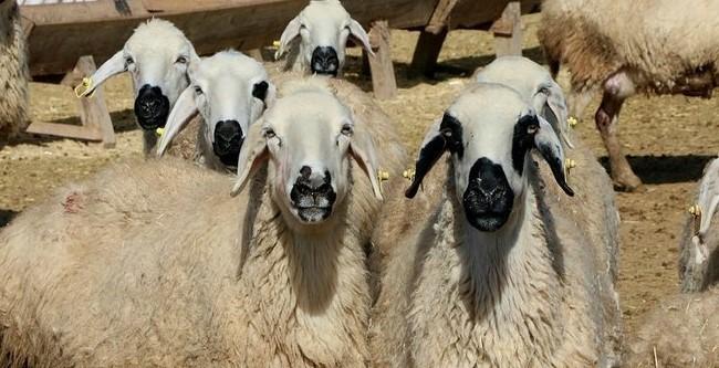 Köye Yerleşip 100 Koyun Bakmak Para Kazandırır Mı Dükkan Açmak