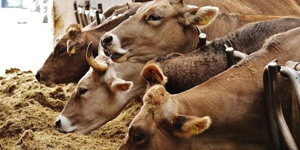 Hayvancılık Süt Parası Nasıl Alınır? Şartları Nelerdir? Hayvan Kredisi